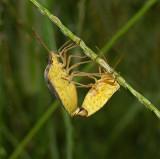 Rice Stinkbugs