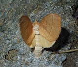 White-dotted Prominent Moth (7915)