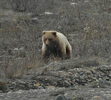Grizzly (Brown) Bear