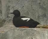 Pigeon Guillemot