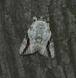 Sad Underwing Moth (8793)