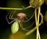 Green Lynx Spider with Rice Stinkbug Prey