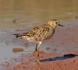 Pacific Plovers on Maui