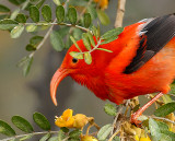 Scarlet Honeycreeper ('I'iwi)