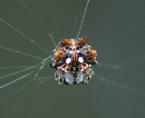 Asian Spiny-backed Spider