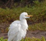 Maui Cattle Egrets