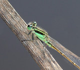 Maui Dragonflies and Damselflies