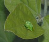 Three-cornered Alfalfa Treehopper
