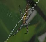 Garden Spider on Maui, Hawai'i