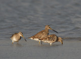 Long-billed Dowitchers on Maui