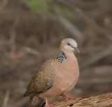 Spotted Dove on Maui