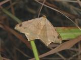 Bicolored Angle Moth