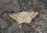 Dot-lined Angle Moth (6332)