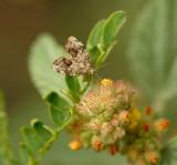 Choreutis spp. of Moth