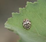 Ashy Gray Lady Beetle