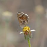 Smaller Lantana Butterfly