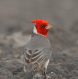 Maui Red-crested Cardinal