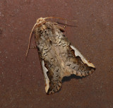 Orange-humped Mapleworm Moth (7953)
