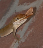 Green Anole with Moth Prey