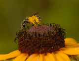 Sweat Bees, Leafcutter Bees, Resin Bees and related bees