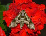 Pandorus Sphinx Moth (7859)