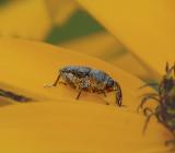 Weevil, Genus Rhyssomatus