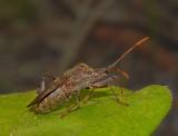 Acanthocephala sp.
