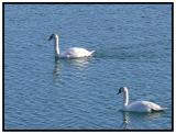 March 06 - Swans in Chicago
