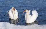 swans in lake Zeller see