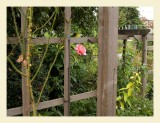 Rose7028.jpg