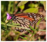 Monarch Butterfly April 13