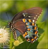 Spicebush Swallowtail Butterfly July 21