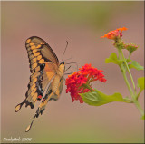 Tiger Swallowtail Butterfly July 30