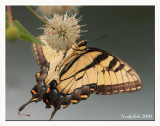 Tiger Swallowtail August 19