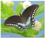 Spicebush Swallowtail August 22