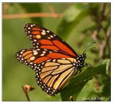 Viceroy Butterfly August 29