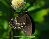 Spicebush Swallowtail Butterfly June 21
