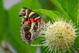Painted Lady June 27