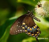 Spicebush Swallowtail June 28