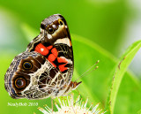 Painted Lady June 29