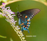 Pipevine Swallowtail July 17