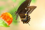 Spicebush Swallowtail July 18