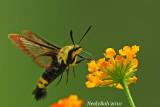 Hummingbird Moth July 21