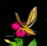 Hummingbird Moth August  8