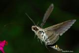Hummingbird Moth August 13
