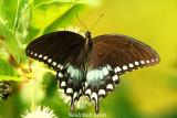 Spicebush Swallowtail August 18