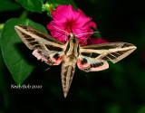 Hummingbird Moth August 19