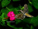 Hunningbird Moth