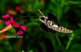 Hummingbrd Moth August 20