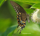 Spicebush Swallowtail August 21